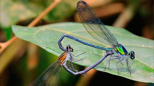 Disco do Pink Floyd dá nome a uma nova espécie de libélula