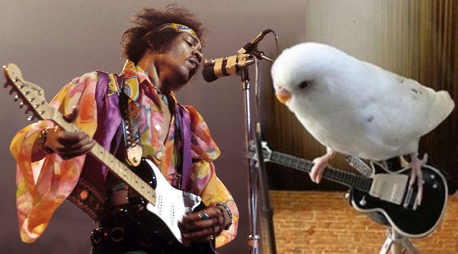 Periquitos não chegaram ao Reino Unido pelas mãos de Jimi Hendrix, diz estudo