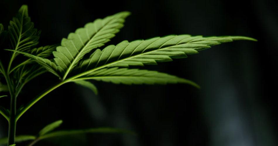 Câmara vota na semana que vem projeto de lei que autoriza plantio de Cannabis para fins medicinais